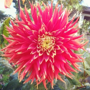 Dahlia, blooming in strength and beauty - shining!